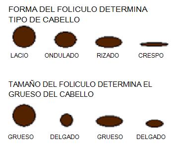 Morfología Del Cabello